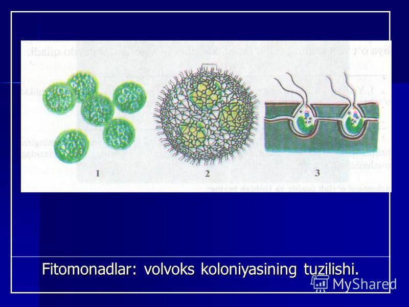Fitomonadlar: volvoks koloniyasining tuzilishi.