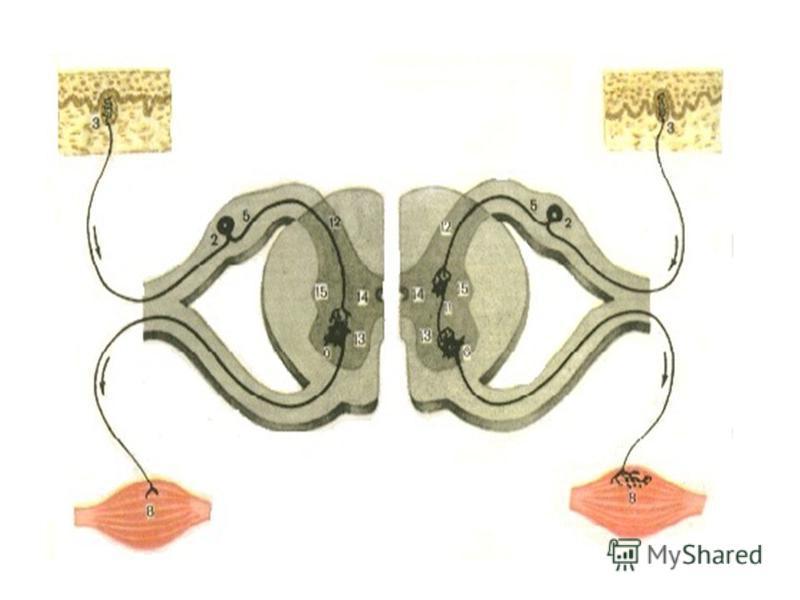 Классификация периферических нервов по функции 1. Чувствительные (афферентные) периферические нервы формируются из отростков нервных клеток, тела которых располагаются в образованиях головного, спинного мозга и в чувствительных узлах черепно-мозговых