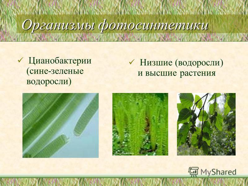 Организмы фотосинтетики Цианобактерии (сине-зеленые водоросли) Низшие (водоросли) и высшие растения