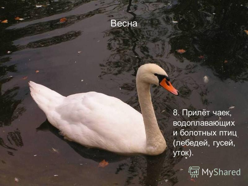 Весна 8. Прилёт чаек, водоплавающих и болотных птиц (лебедей, гусей, уток).