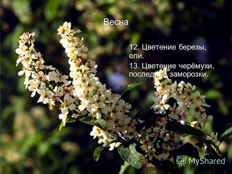 Весна 12. Цветение березы, ели. 13. Цветение черёмухи, последние заморозки.