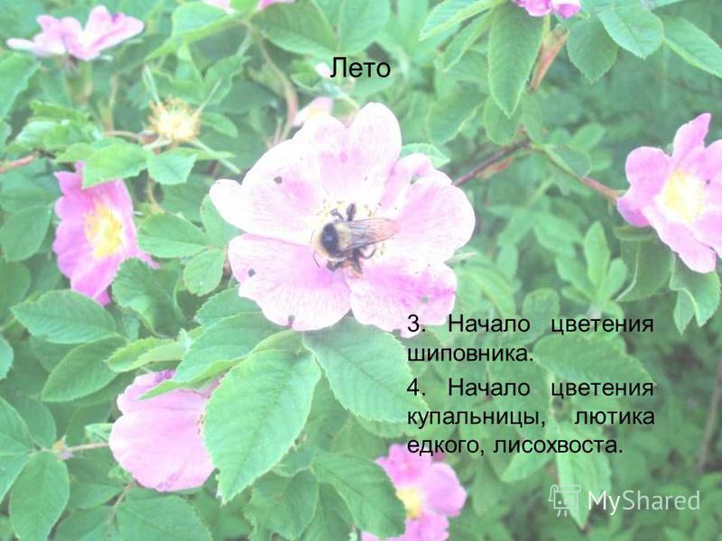 Лето 3. Начало цветения шиповника. 4. Начало цветения купальницы, лютика едкого, лисохвоста.