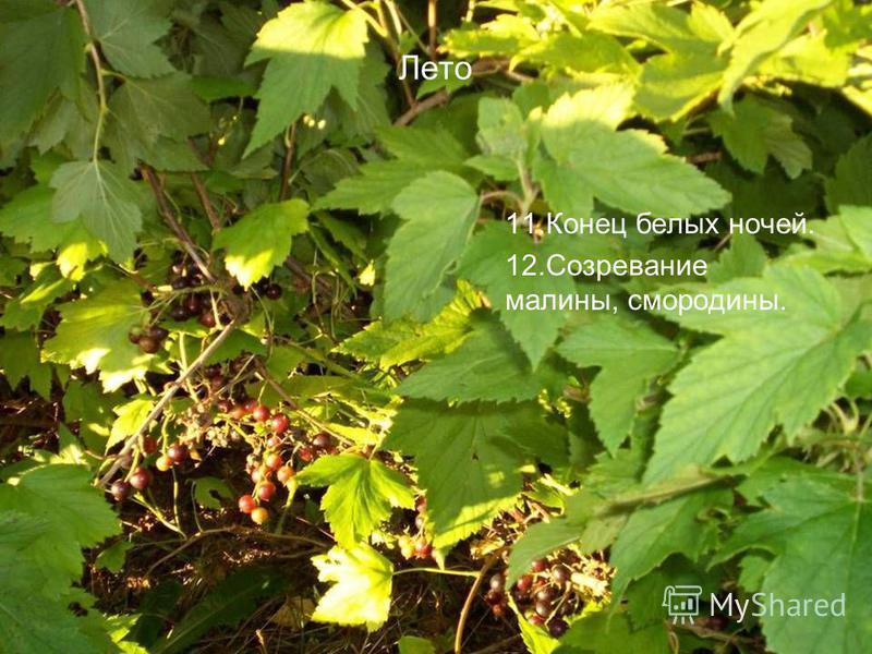 Лето 11. Конец белых ночей. 12. Созревание малины, смородины.