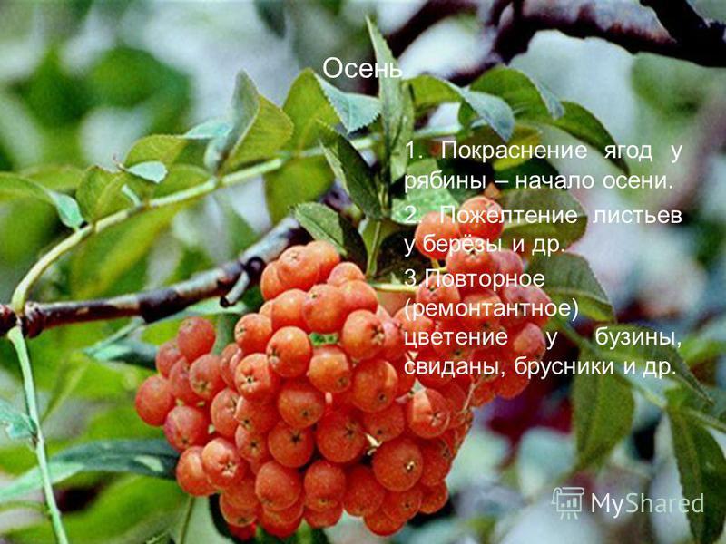 Осень 1. Покраснение ягод у рябины – начало осени. 2. Пожелтение листьев у берёзы и др. 3. Повторное (ремонтантное) цветение у бузины, свиданы, брусники и др.