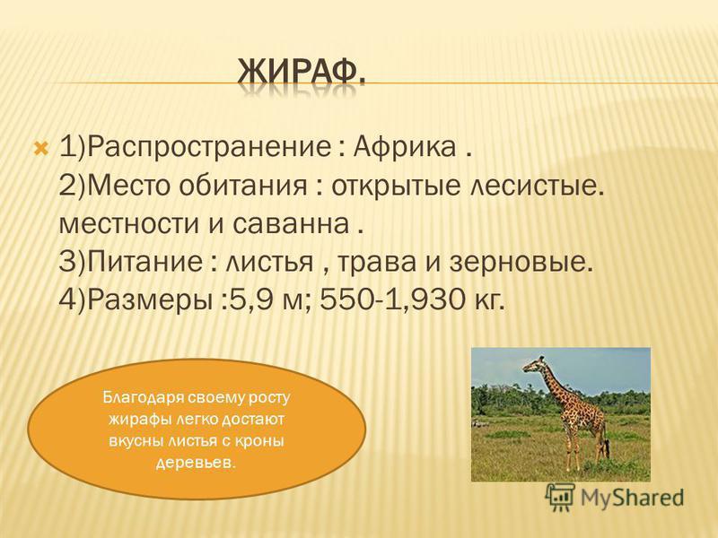 1)Распространение : Африка. 2)Место обитания : открытые лесистые. местности и саванна. 3)Питание : листья, трава и зерновые. 4)Размеры :5,9 м; 550-1,930 кг. Благодаря своему росту жирафы легко достают вкусны листья с кроны деревьев.