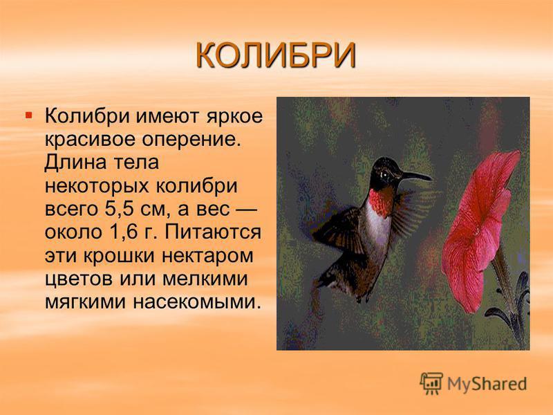 КОЛИБРИ Колибри имеют яркое красивое оперение. Длина тела некоторых колибри всего 5,5 см, а вес около 1,6 г. Питаются эти крошки нектаром цветов или мелкими мягкими насекомыми.