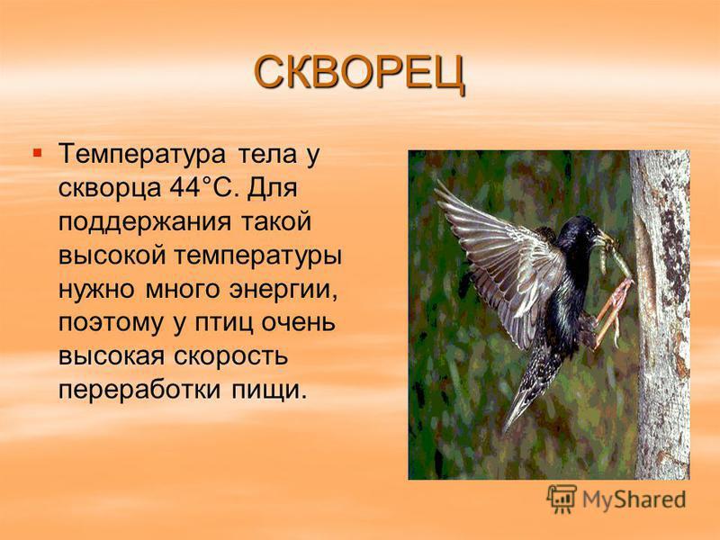 СКВОРЕЦ Температура тела у скворца 44°С. Для поддержания такой высокой температуры нужно много энергии, поэтому у птиц очень высокая скорость переработки пищи.