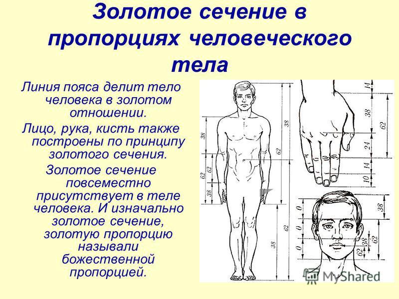 Золотое сечение в пропорциях человеческого тела Линия пояса делит тело человека в золотом отношении. Лицо, рука, кисть также построены по принципу золотого сечения. Золотое сечение повсеместно присутствует в теле человека. И изначально золотое сечени
