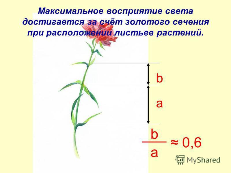 a b Максимальное восприятие света достигается за счёт золотого сечения при расположении листьев растений. b a 0,6