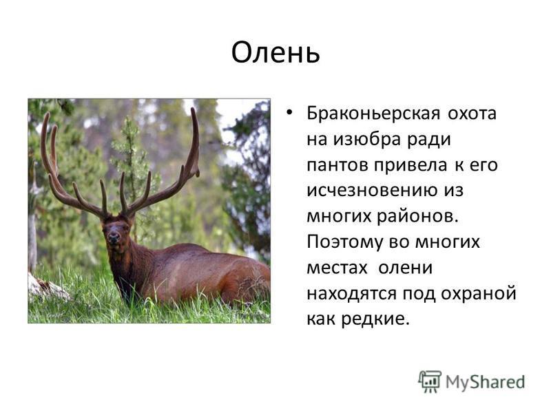 Олень Браконьерская охота на изюбра ради пантов привела к его исчезновению из многих районов. Поэтому во многих местах олени находятся под охраной как редкие.