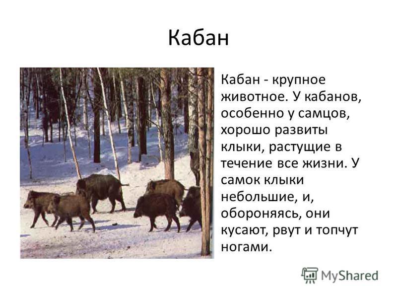 Кабан Кабан - крупное животное. У кабанов, особенно у самцов, хорошо развиты клыки, растущие в течение все жизни. У самок клыки небольшие, и, обороняясь, они кусают, рвут и топчут ногами.