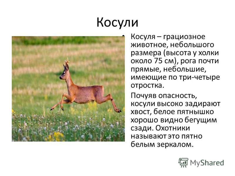 Косули Косуля – грациозное животное, небольшого размера (высота у холки около 75 см), рога почти прямые, небольшие, имеющие по три-четыре отростка. Почуяв опасность, косули высоко задирают хвост, белое пятнышко хорошо видно бегущим сзади. Охотники на