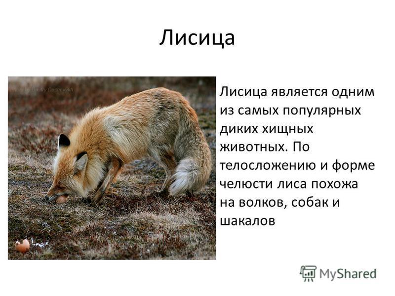 Лисица Лисица является одним из самых популярных диких хищных животных. По телосложению и форме челюсти лиса похожа на волков, собак и шакалов