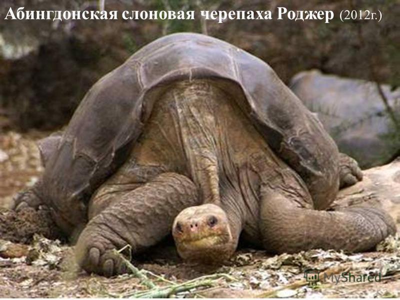 Абингдонская слоновая черепаха Роджер (2012 г.)