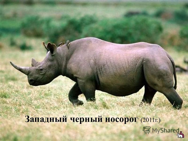 Западный черный носорог (2011 г.)
