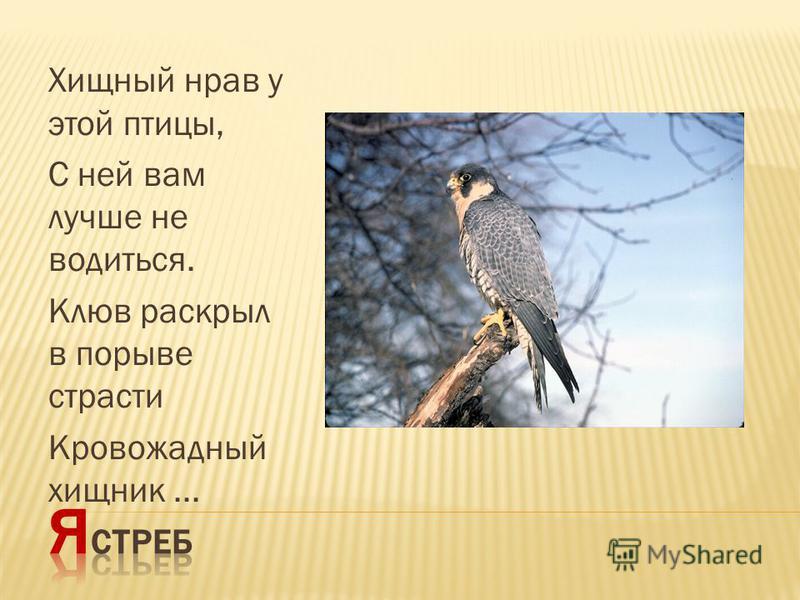 Хищный нрав у этой птицы, С ней вам лучше не водиться. Клюв раскрыл в порыве страсти Кровожадный хищник...
