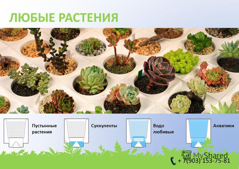 ЛЮБЫЕ РАСТЕНИЯ Пустынные растения Cуккуленты Водо любивые Акватики + 7(903) 153-75-81