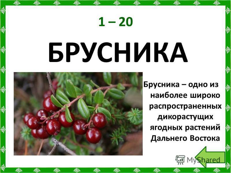 1 – 20 БРУСНИКА Брусника – одно из наиболее широко распространенных дикорастущих ягодных растений Дальнего Востока