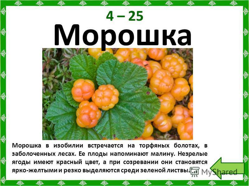 4 – 25 Морошка в изобилии встречается на торфяных болотах, в заболоченных лесах. Ее плоды напоминают малину. Незрелые ягоды имеют красный цвет, а при созревании они становятся ярко-желтыми и резко выделяются среди зеленой листвы. Морошка