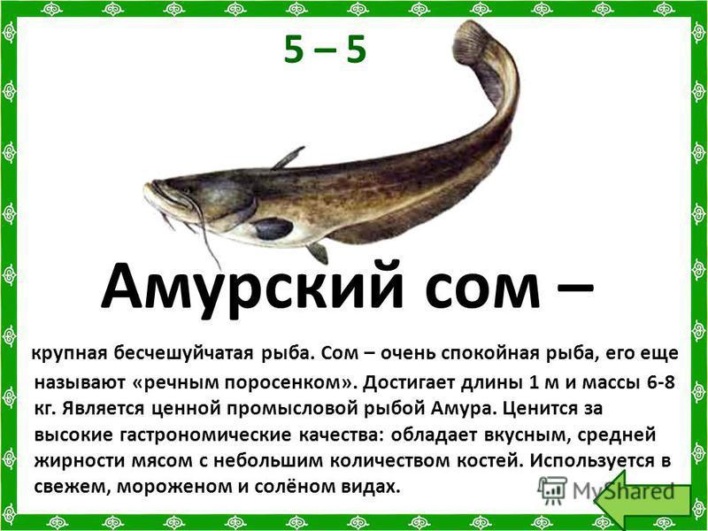 5 – 5 Амурский сом – крупная бесчешуйчатая рыба. Сом – очень спокойная рыба, его еще называют «речным поросенком». Достигает длины 1 м и массы 6-8 кг. Является ценной промысловой рыбой Амура. Ценится за высокие гастрономические качества: обладает вку
