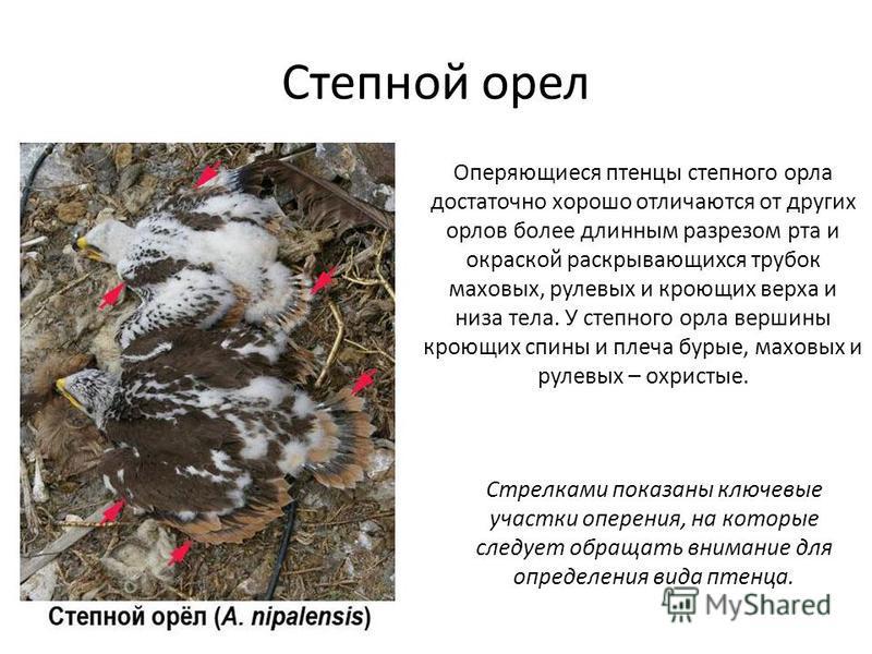 Степной орел Оперяющиеся птенцы степного орла достаточно хорошо отличаются от других орлов более длинным разрезом рта и окраской раскрывающихся трубок маховых, рулевых и кроющих верха и низа тела. У степного орла вершины кроющих спины и плеча бурые,