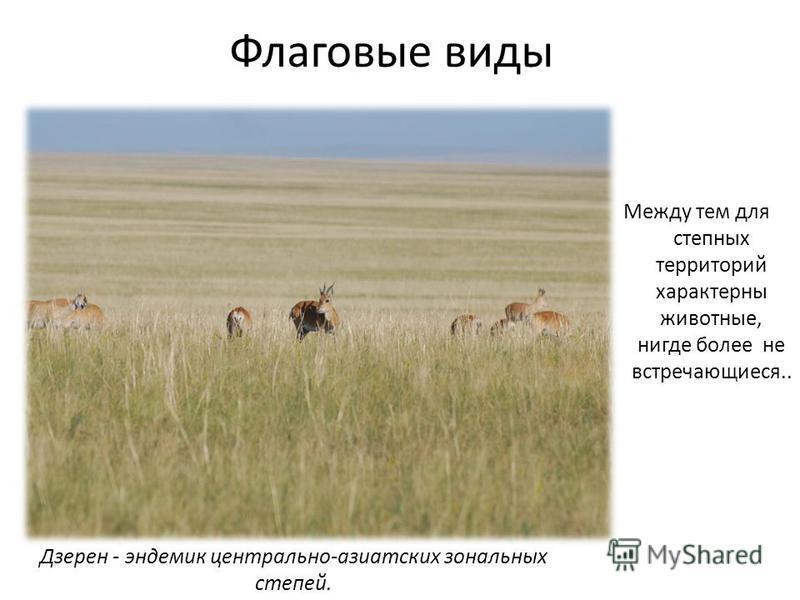 Флаговые виды Между тем для степных территорий характерны животные, нигде более не встречающиеся.. Дзерен - эндемик центрально-азиатских зональных степей.
