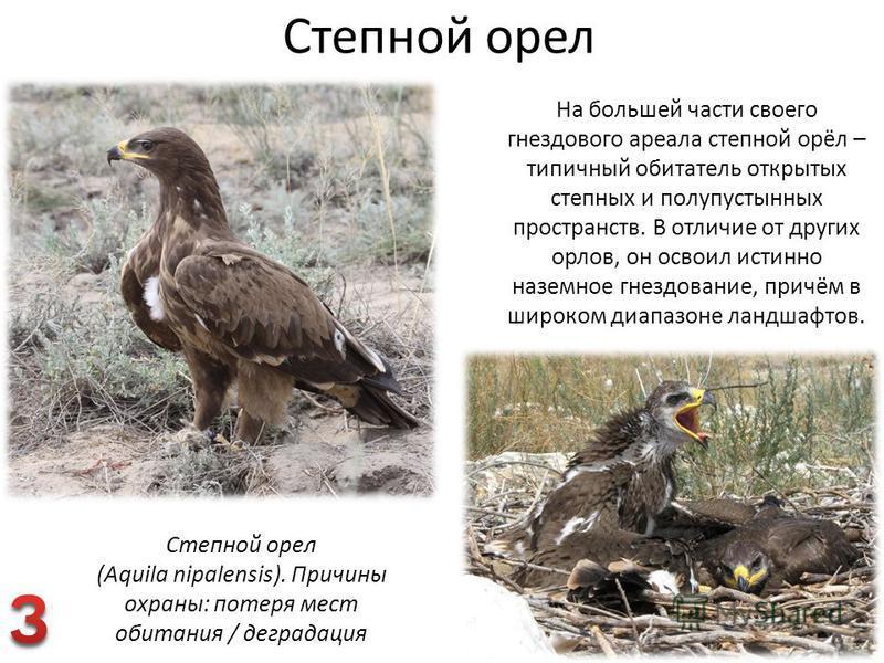 Степной орел На большей части своего гнездового ареала степной орёл – типичный обитатель открытых степных и полупустынных пространств. В отличие от других орлов, он освоил истинно наземное гнездование, причём в широком диапазоне ландшафтов. Степной о