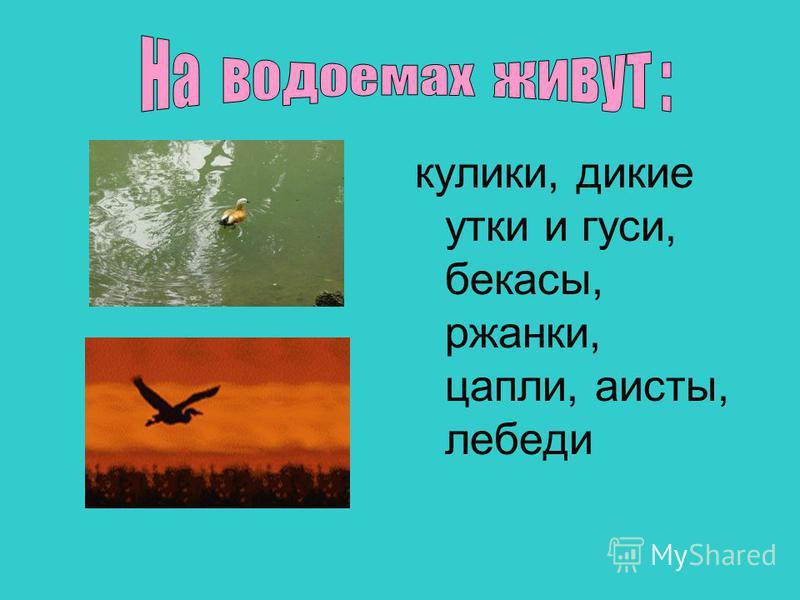 кулики, дикие утки и гуси, бекасы, ржанки, цапли, аисты, лебеди