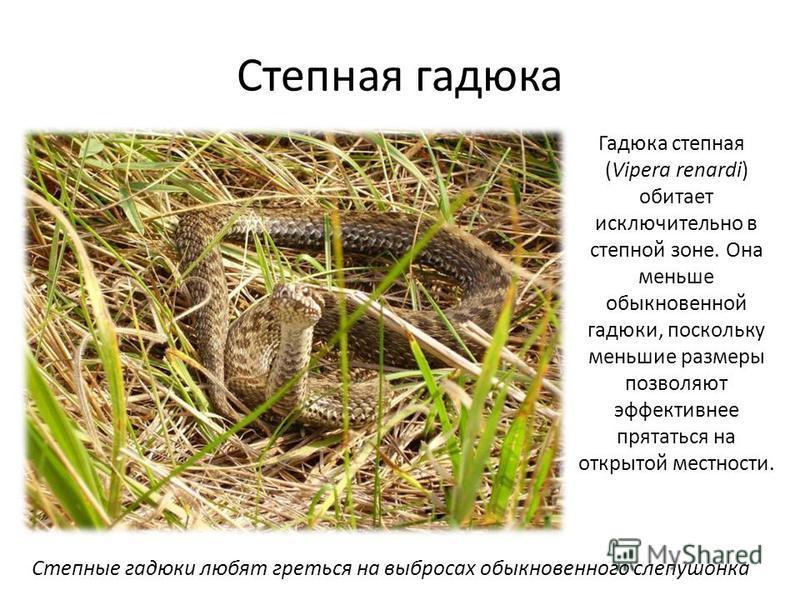 Степная гадюка Гадюка степная (Vipera renardi) обитает исключительно в степной зоне. Она меньше обыкновенной гадюки, поскольку меньшие размеры позволяют эффективнее прятаться на открытой местности. Степные гадюки любят греться на выбросах обыкновенно