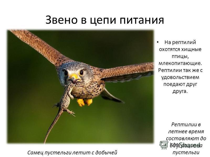 Звено в цепи питания На рептилий охотятся хищные птицы, млекопитающие. Рептилии так же с удовольствием поедают друг друга. Самец пустельги летит с добычей Рептилии в летнее время составляют до 60% рациона пустельги