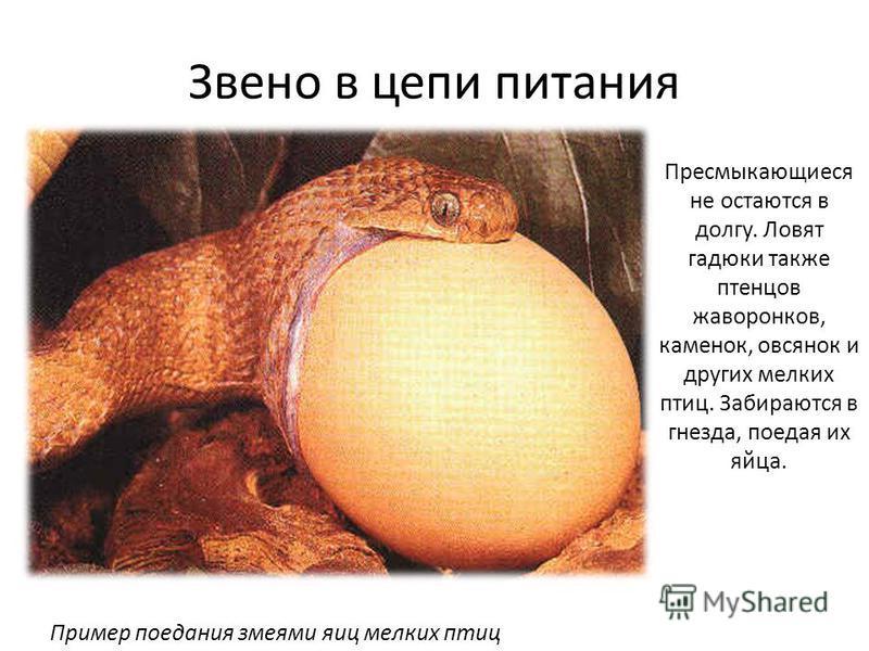 Звено в цепи питания Пресмыкающиеся не остаются в долгу. Ловят гадюки также птенцов жаворонков, каменок, овсянок и других мелких птиц. Забираются в гнезда, поедая их яйца. Пример поедания змеями яиц мелких птиц