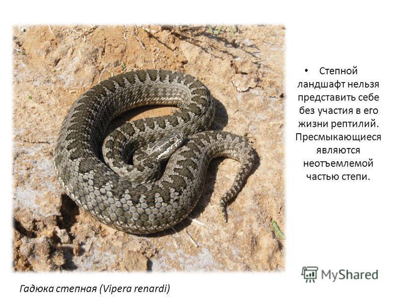 Степной ландшафт нельзя представить себе без участия в его жизни рептилий. Пресмыкающиеся являются неотъемлемой частью степи. Гадюка степная (Vipera renardi)
