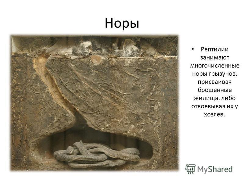 Норы Рептилии занимают многочисленные норы грызунов, присваивая брошенные жилища, либо отвоевывая их у хозяев.