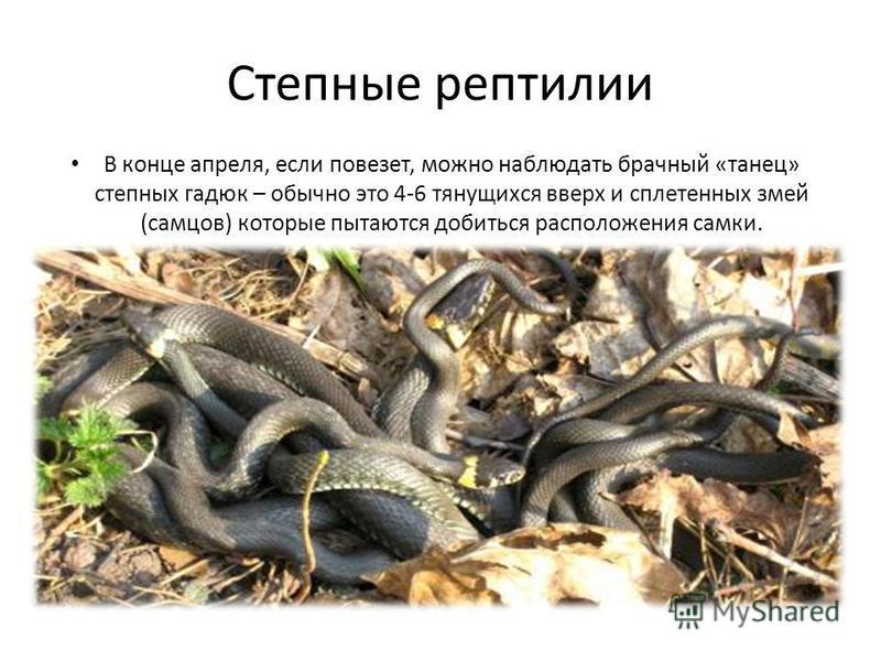 Степные рептилии В конце апреля, если повезет, можно наблюдать брачный «танец» степных гадюк – обычно это 4-6 тянущихся вверх и сплетенных змей (самцов) которые пытаются добиться расположения самки.
