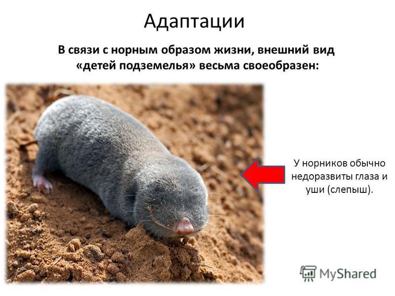 В связи с норным образом жизни, внешний вид «детей подземелья» весьма своеобразен: Адаптации У норников обычно недоразвиты глаза и уши (слепыш).