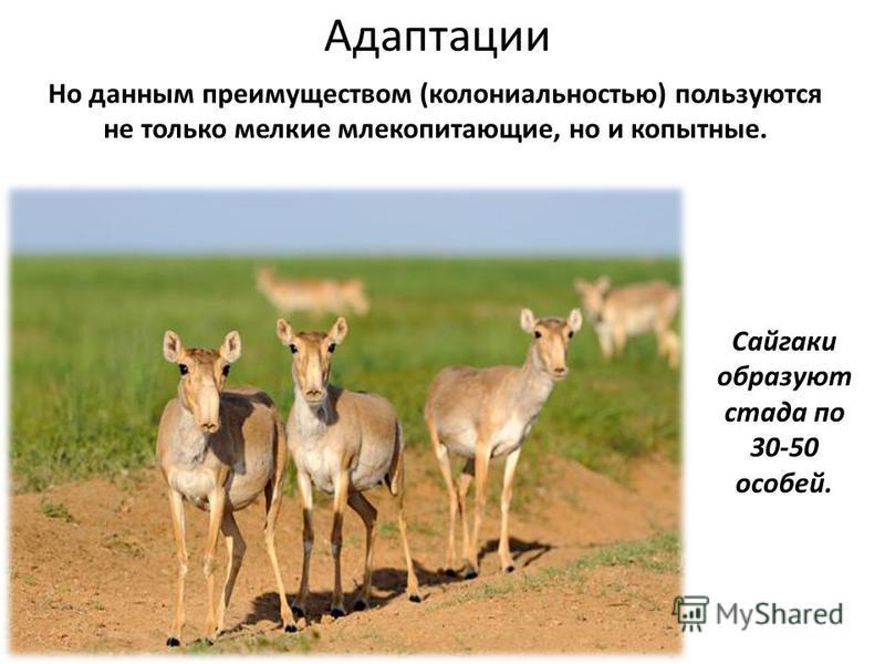 Но данным преимуществом (колониальностью) пользуются не только мелкие млекопитающие, но и копытные. Адаптации Сайгаки образуют стада по 30-50 особей.