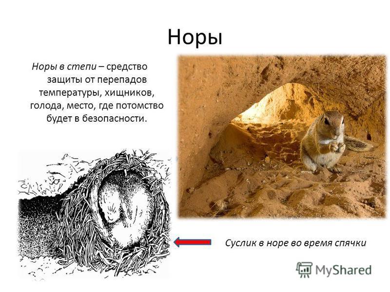 Норы Норы в степи – средство защиты от перепадов температуры, хищников, голода, место, где потомство будет в безопасности. Суслик в норе во время спячки