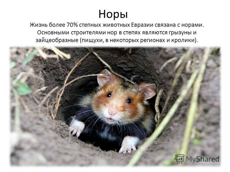 Жизнь более 70% степных животных Евразии связана с норами. Основными строителями нор в степях являются грызуны и зайцеобразные (пищухи, в некоторых регионах и кролики). Норы