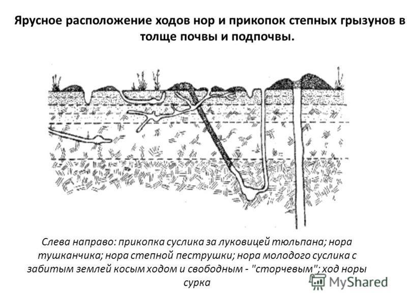 Ярусное расположение ходов нор и прикупок степных грызунов в толще почвы и подпочвы. Слева направо: прикопка суслика за луковицей тюльпана; нора тушканчика; нора степной пеструшки; нора молодого суслика с забитым землей косым ходом и свободным -