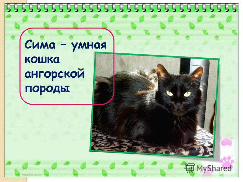 Сима – умная кошка ангорской породы