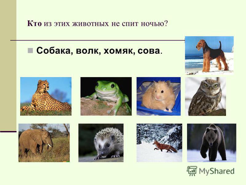 Кто из этих животных не спит ночью? Собака, волк, хомяк, сова.