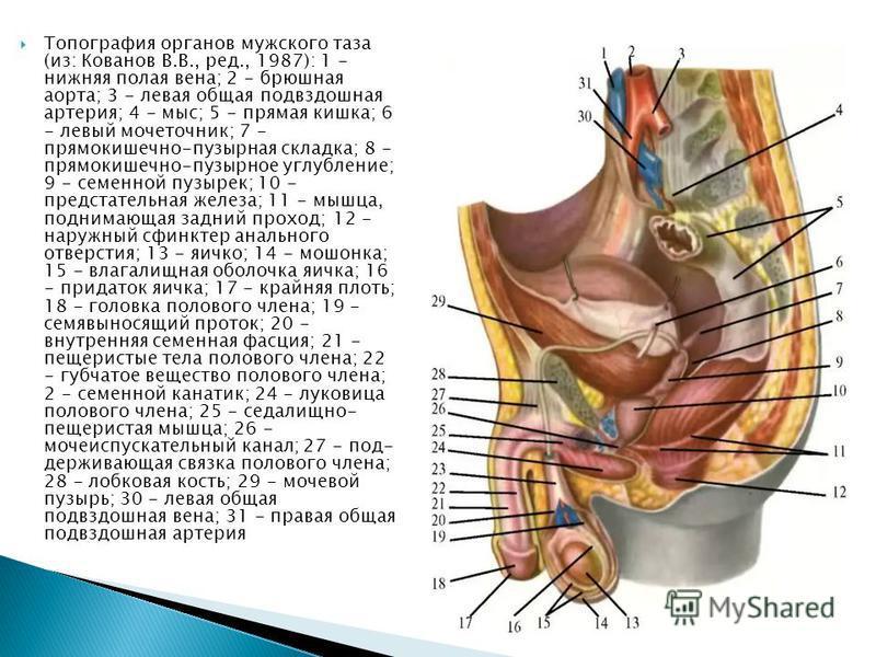 Полая вена при беременности фото