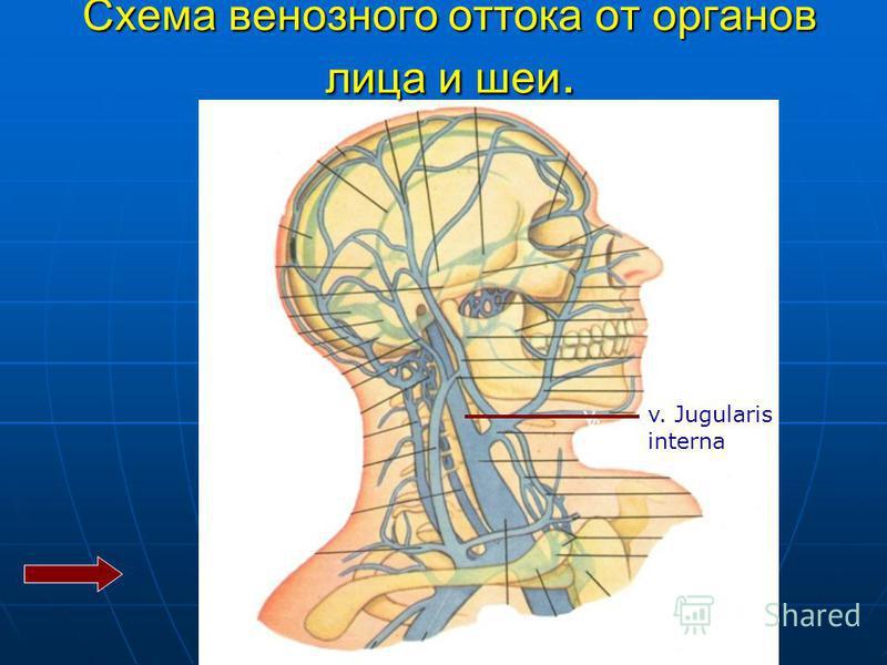 v. v. Jugularis interna Схема венозного оттока от органов лица и шеи.