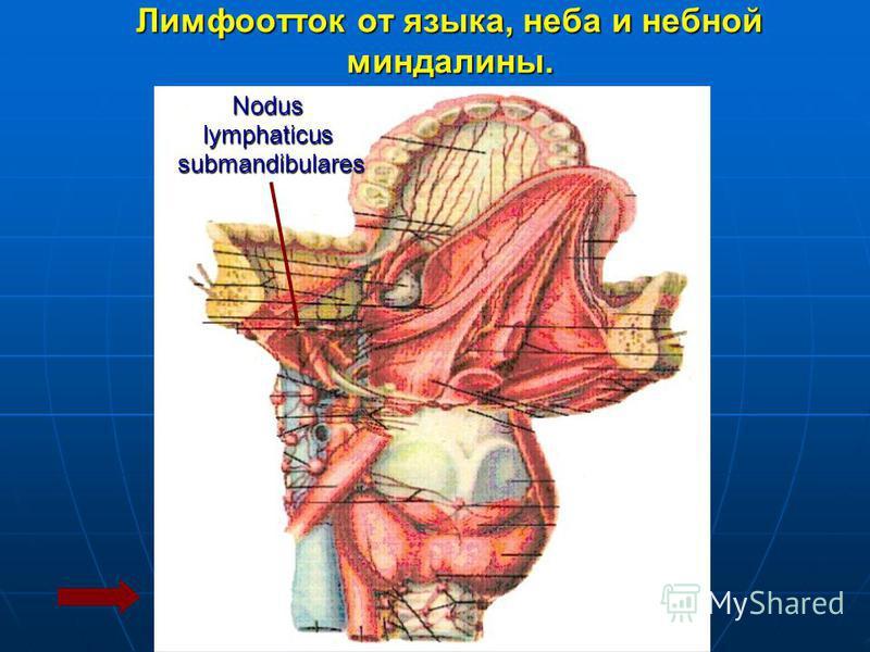 Лимфоотток от языка, неба и небной миндалины. Noduslymphaticus submandibulares submandibulares