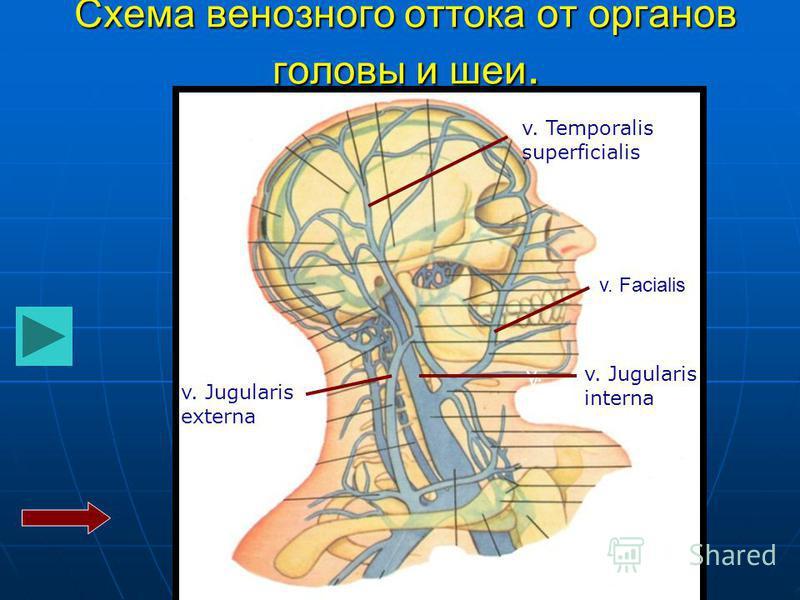 v. v. Jugularis interna v. Jugularis externa v. Temporalis superficialis Схема венозного оттока от органов головы и шеи. v. Facialis