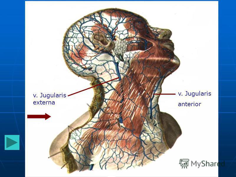 v. Jugularis externa v. Jugularis anterior