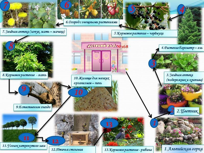 1 2 3 4 5 6 7 8 9 10 12 11 13 168 1. Альпийская горка 2. Цветник 3.Зелёная аптека (подорожник и крапива) 3.Зелёная аптека (подорожник и крапива) 4. Растение барометр – ель 5. Кормовое растение – черёмуха 6. Огород с овощными растениями 7.Зелёная апте