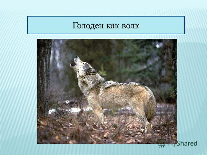 Голоден как волк