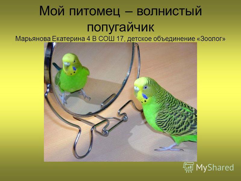 Мой питомец – волнистый попугайчик Марьянова Екатерина 4 В СОШ 17, детское объединение «Зоолог»