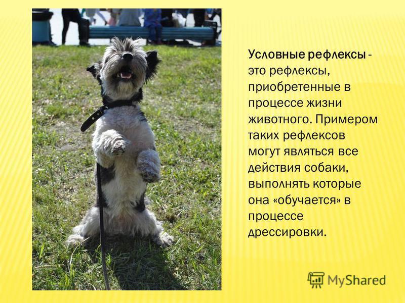 Условные рефлексы - это рефлексы, приобретенные в процессе жизни животного. Примером таких рефлексов могут являться все действия собаки, выполнять которые она «обучается» в процессе дрессировки.